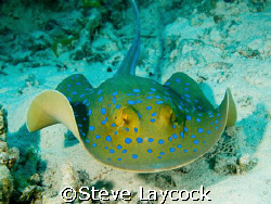 Blue spotted ray, swimming towards the camera by Steve Laycock 